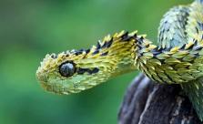 Bush Viper - Takamanda , Cameroon