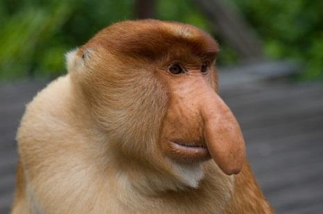 Proboscis Monkey, foarte raspandita in Asia