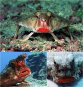 """Red Lipped Batfish, parca a plecat la ... """"agatat"""""""