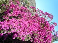 Bougainville- Floarea de Hartie